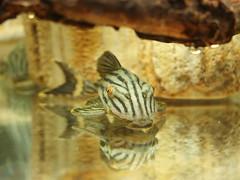哥倫比亞白金皇冠豹 (BOX Lin) Tags: 異型 飼養