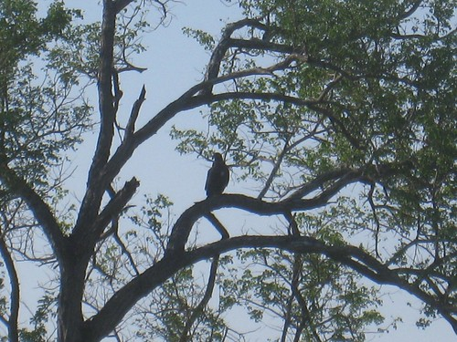 One of the many raptors (vulture or eagle) in Kruger