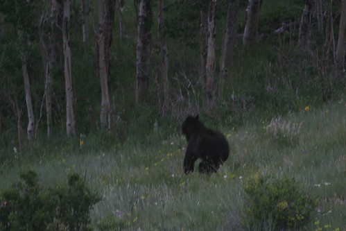 Black Bear we scared off from the Bird Feeders
