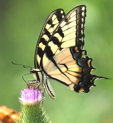 Tiger Swallowtail (DrPhotoMoto) Tags: orange black yellow butterfly purple thistle easterntigerswallowtail naturesfinest papilionidae mywinners aplusphoto theunforgettablepictures 37moto
