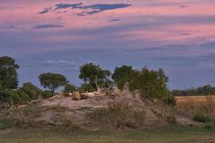 Lions sundown (Wild Dogger) Tags: africa travel sunset see wildlife urlaub natur himmel wolken safari afrika botswana 2008 baum carnivore lwe goldenlight shinde pantheraleo termitenhgel termitemount abigfave feldae
