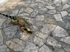 Iguanas roam freely through park