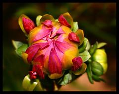 Summer Beauty ( Dahlia Bud ) (Kuzeytac) Tags: life pink dahlia light red brown flower color colour macro green nature postcard vivid natura bud makro leyla doku bahar çiçek yeşil lsi ışık fotoğraf kırmızı renk yaprak doğa tabiat renkler kahverengi fantasticflower canoneos400d canoneosdigitalrebelxti colorphotoaward kuzeytac copyrightedallrightsreserved aqualityonlyclub