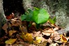 young plant, old trunk and fallen leaves (Leonard J Matthews) Tags: new old plant tree nature leaves leaf flora australia growth creation fallen queensland trunk environment scarborough unityindiversity trashbit mythoto savebeautifulearth