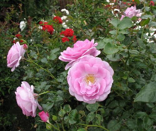 pink iceberg roses