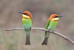 1 (pootdt) Tags: bird chestnutheadedbeeeater