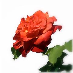 L'important... (Barbara DALMAZZO-TEMPEL) Tags: red flower fleur rose garden rouge jardin