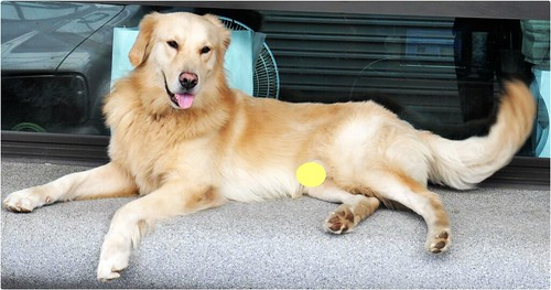 「認養」台南市東區3歲黃金獵犬宅男,身體健康,誠徵會照顧他一輩子的新家~謝謝您!20110530