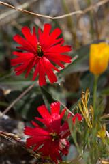 IMG_9681.jpg (jhapeman) Tags: california marincounty caryophyllaceae tiburonca silenecalifornica californiaindianpink ringmountainpreserve scarletcampion