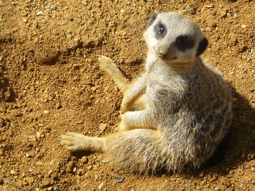 Meerkat chilling