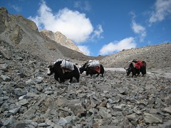 Yaks bumbling down the rocks (Saumil U. Shah) Tags: yak mountain mountains nature animal trekking trek canon hiking pass hike tibet luggage journey himalaya spiritual shiva hindu hinduism kailash yaks yatra jain pilgrimage kora himalayas rinpoche gauri kang shah parvati mansarovar parikrama manasarovar dolma jainism kailas circumambulation  dolmalapass saumil kmy kangrinpoche dolmala gaurikund     kmyatra saumilshah