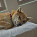 柴犬:who woke me?