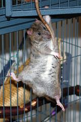 Cyril - Hangin' Tough (KristyR929) Tags: pet rat 100v10f explore rats cyril msh1111 msh111120