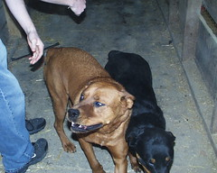 Coco & Jewel (muslovedogs) Tags: dogs rottweiler sage coco jewel boxweiler zeusoffspring