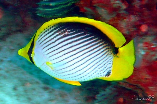 Blackback Butterflyfish on Similan Islands, Thailand