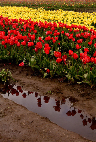Tulip Farm Visit 2