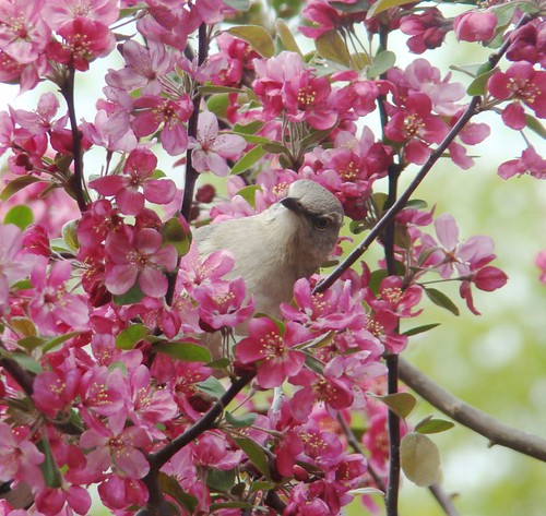 Mockingbird in the crabapple(1)