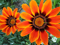 Gazanias in Riverside. (JannK) Tags: flowers loveit southerncalifornia gazanias mimamorflowers awesomeblossoms