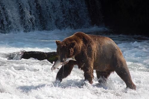 big bear with salmon