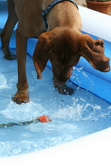 Helping fill the pool... (Woody Worth) Tags: swimming puppy pointer woody vizsla elaine worth pup kev visla hungarian whitwick