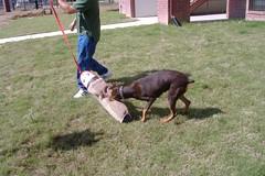 sleeve 015 (clovergecko1) Tags: doberman guinevere dobermann schutzhund bitesleeve bitework guineveredoberman