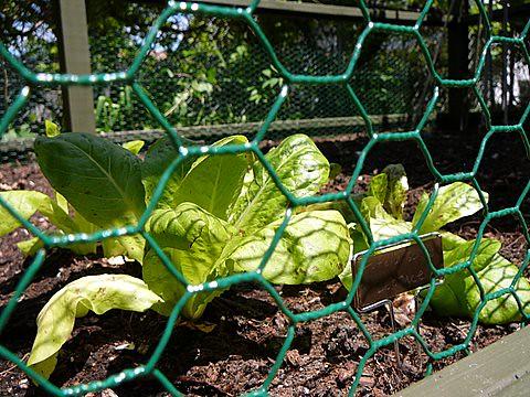 Garden Lettuce Detail