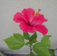 Fiore di Hibiscus (Mackley ♠) Tags: topv2222 hibiscus 2008 fiore lugo ibisco nikoncoolpix4600 cortilino flowerwatcher thegoldenflower 木槿属