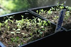 red summer crisp lettuce seedlings