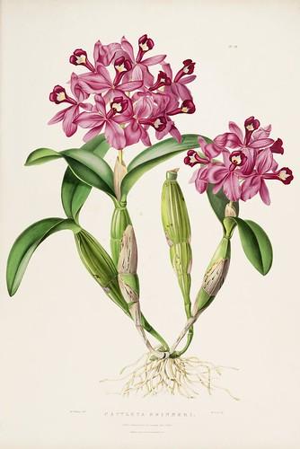 Cattleya skinneri - Guatemalan orchid
