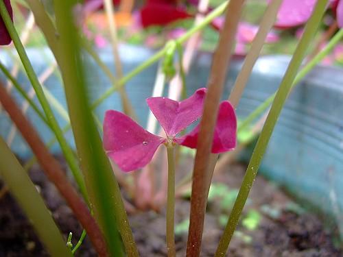 2008_0531F3紫葉酢醬草