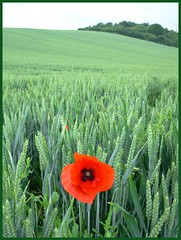 """Comme un p'tit coquelicot..."" (valkiribocou) Tags: friends red france green rouge champs vert poppy balad rosso bourgogne association coquelicot prespective 1000views balade bl 2000views 3000views 4000views villeneuvesuryonne goldstaraward valkiribocou llovemypics baladeserrisbalad"