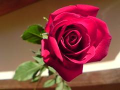 FLOWER____________________Holly_H°