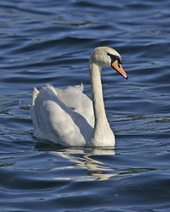 Mute Swan (Cygnus olor) (Lip Kee) Tags: muteswan cygnusolor anatidae anseriformes knobbelzwaan höckerschwan knopsvane knölsvan лебедьшипун cignoreale cygnetuberculé コブハクチョウ 疣鼻天鹅 cisnevulgar anasolor