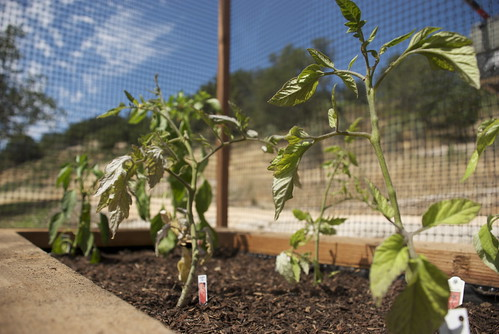 We started with a few spindly tomato plants.