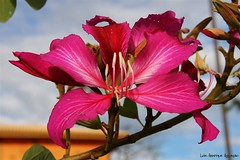 (Luiz Henrique Assuno) Tags: flower canon eos flor 2008 avar 40d licassuncao