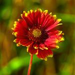 3-3945 Nice colored flower 꽃  明信片 цветы hoa çiçekler 图像 鲜花 花 꽃         over 12 000 views