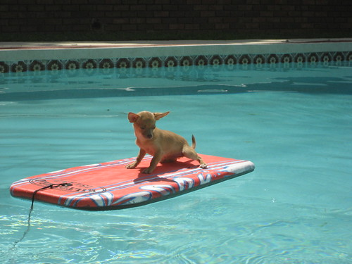Chihuahua Surfing