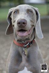 Jager the Weimaraner (Photos by Dash) Tags: dog canon puppy rebel 50mm puppies weimaraner 18 jager xit mywinners websitepets