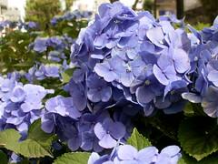 紫陽花いっぱい。