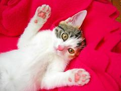 Paws up, baby, paws up... (icemanigation) Tags: pink white sexy eye cat mouth nose paw eyes nikon kitten kitty whiskers whisker ear coolpix paws beyaz pati kedi yavru seksi pembe lustful ottawan kittenmagazine pene icemanigation