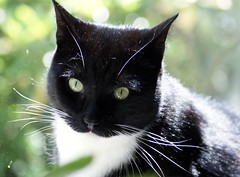 Sweet Cortez (Cajaflez) Tags: pet cute cat tuxedo cc100 bestofcats pet100 catnipaddicts boc0708