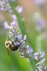 Bumblebee drawing nectar (DP|Photography) Tags: flower macro conservatory herbarium newyorkbotanicalgardens debashispradhan dpphotography dp|photography