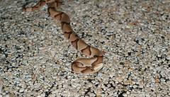 Copperhead (patrick_moore75165) Tags: texas snake fairfield copperhead patrickmoore sonyalpha200