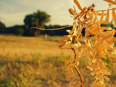 (Katherine Pearce) Tags: morning light nature girl field leaves sunshine yellow outdoors weeds warm texas shine bokeh explore katherinepearce