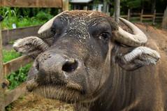 Water Buffalo Sniffs Camera (Al Peabody) Tags: farmanimals globalvillage