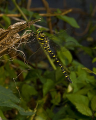 "Gold Ringed Dragonfly (Cordulegaster (2) • <a style=""font-size:0.8em;"" href=""http://www.flickr.com/photos/57024565@N00/2770795283/"" target=""_blank"">View on Flickr</a>"