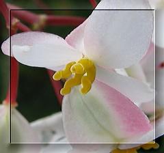 Begonia (Brenda Boisvert) Tags: pink flower macro begonia soe cherryontop bej golddragon mywinners abigfave platinumphoto anawesomeshot theunforgettablepictures macromarvels theperfectphotographer damniwishidtakenthat kunstplatzlinternational mallmixstaraward