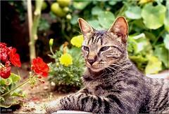 Je m'appelle Moustic, le chat ; My name is Moustic, the cat (jccphotos) Tags: chat cat chats cats animal animaux animals fleurs flowers geraniums tigré tigre petit little félin jccphotos