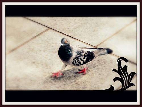 an elegantly pigeon