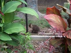 Dickerson Park Zoo (Adventurer Dustin Holmes) Tags: animal animals zoo monkey exhibit monkies springfieldmissouri zoos capuchin monocarablanca springfieldmo whitethroated dickersonparkzoo springfieldzoo